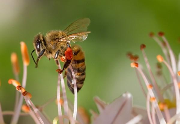 Чем полезна цветочная пыльца